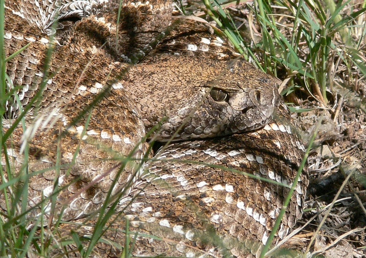 Western Diamondback Rattlesnake in Bandelier National Monument.