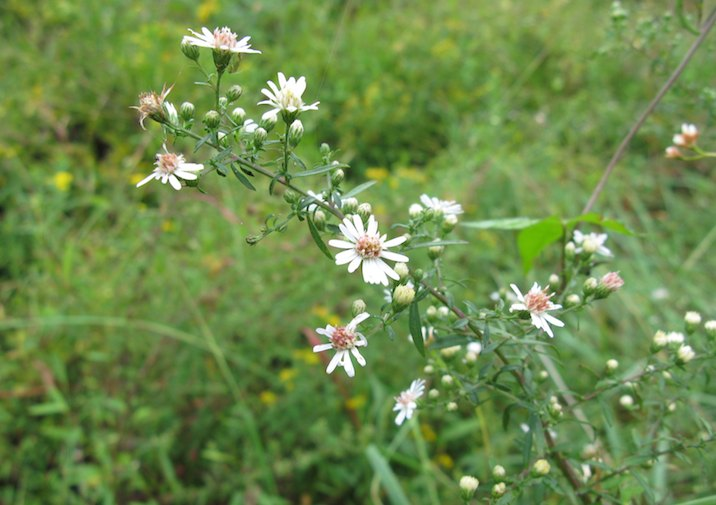 White Aster in Pocahontas State Park near Richmond.