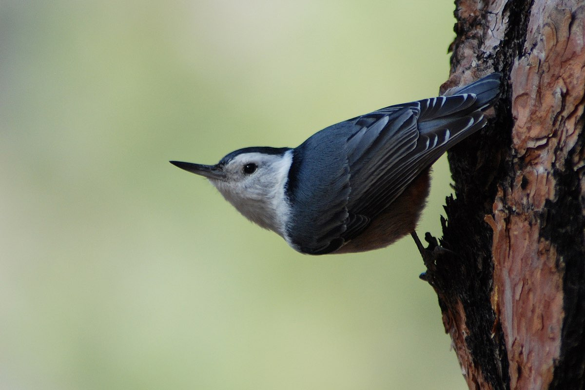 White-breasted Nuthatch in Bandelier National Monument.