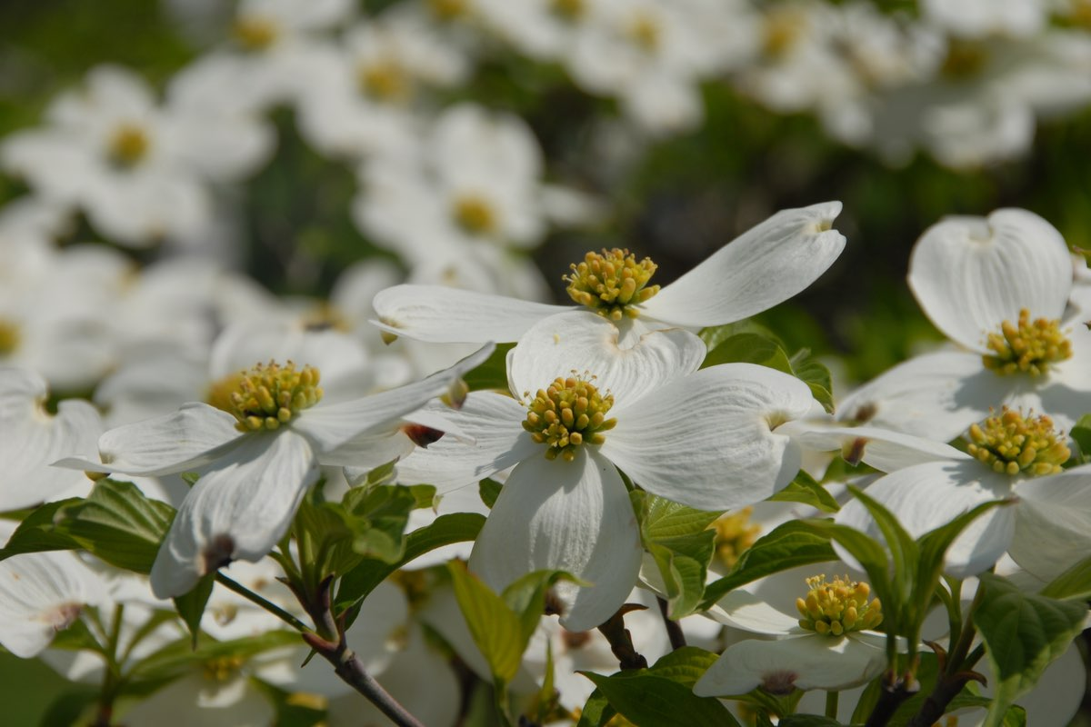 Flowering Dogwood in Valley Forge National Historical Park.