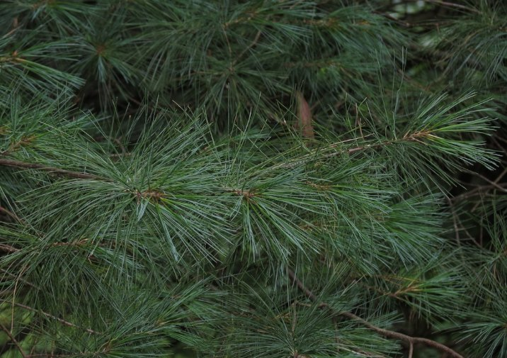 White Pine Needles.