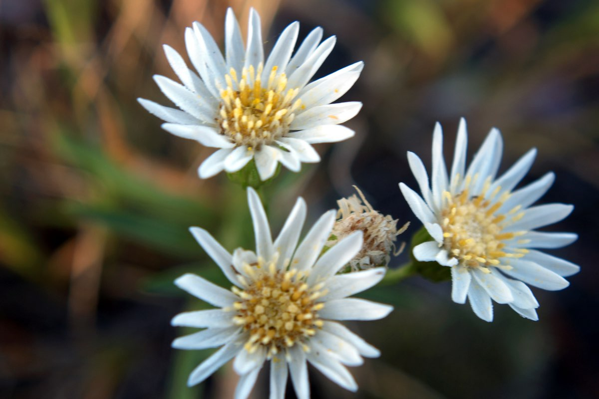 White Prairie Aster in Wind Cave National Park.