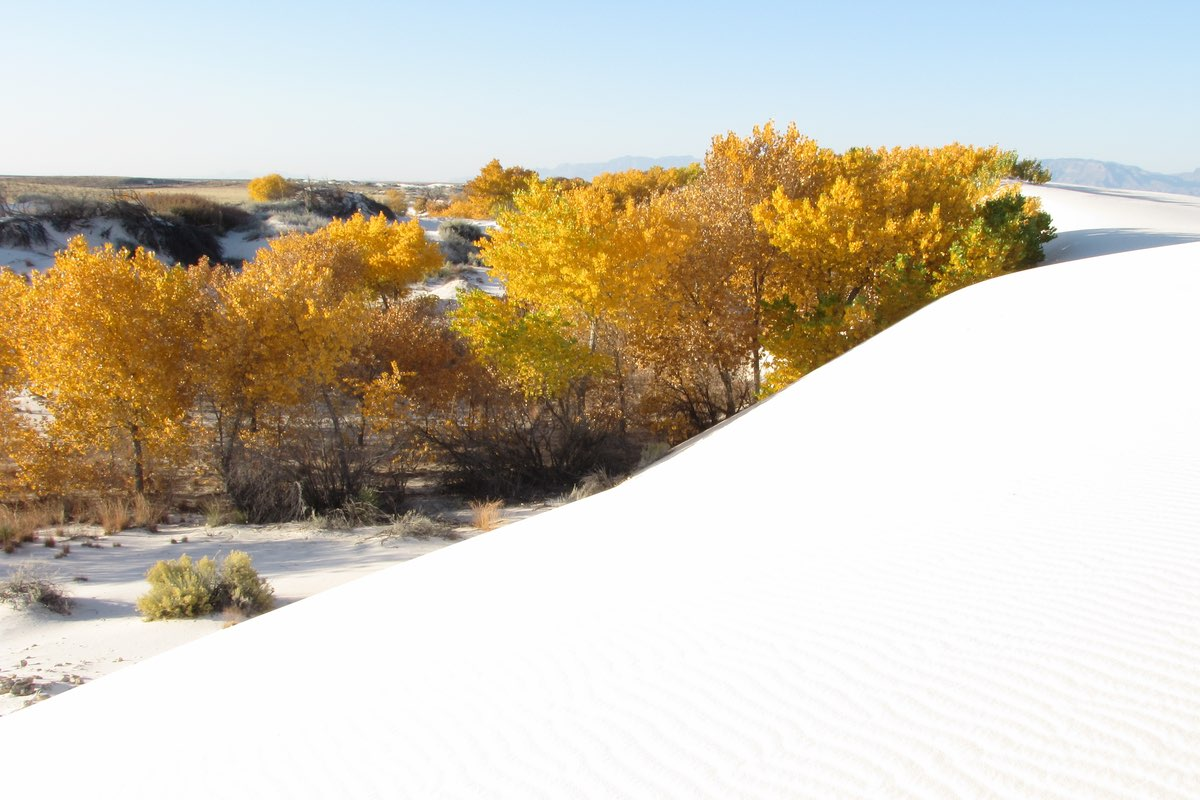 Fall aspens in White Sands National Monument.