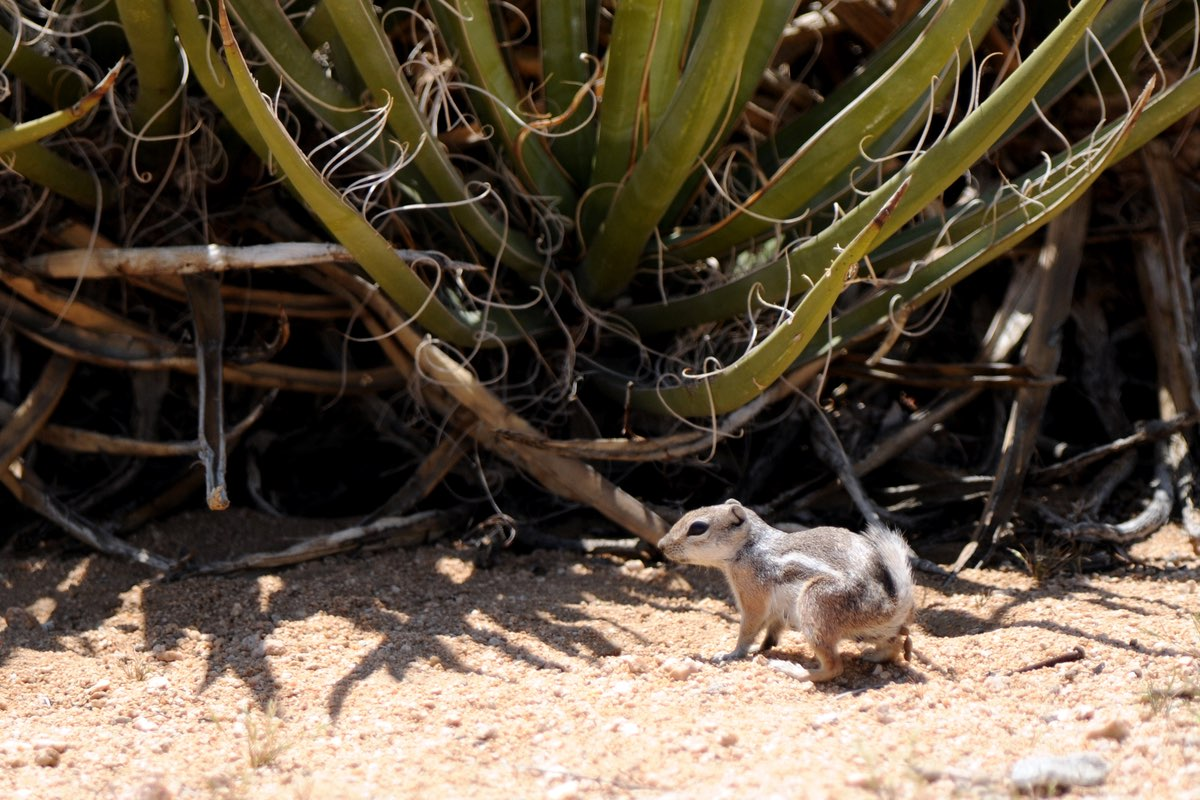White-tailed Antelope Squirrel in Joshua Tree National Park.