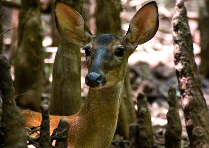 White-tailed Deer doe in Congaree National Park.
