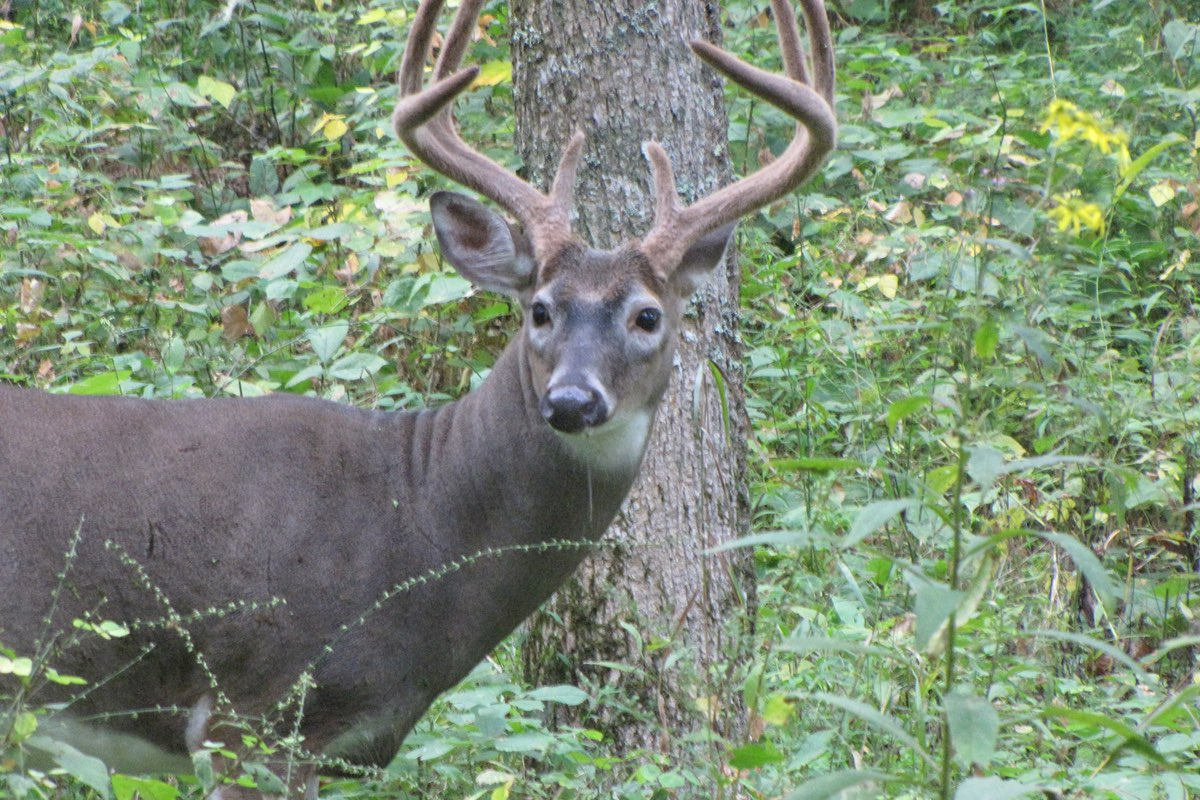 White-tailed Buck in Great Smoky Mountains National Park.