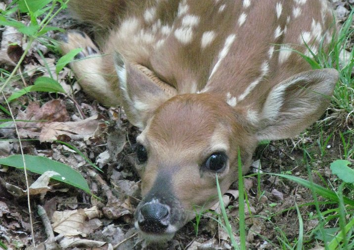 White-tailed Deer Fawn in Grayson Highlands State Park Virginia.