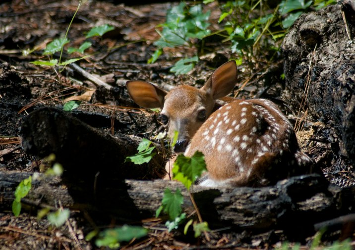White-tailed Deer fawn resting in Congaree National Park, South Carolina.