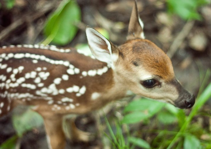 White-tailed Deer fawn in Congaree National Park, South Carolina.