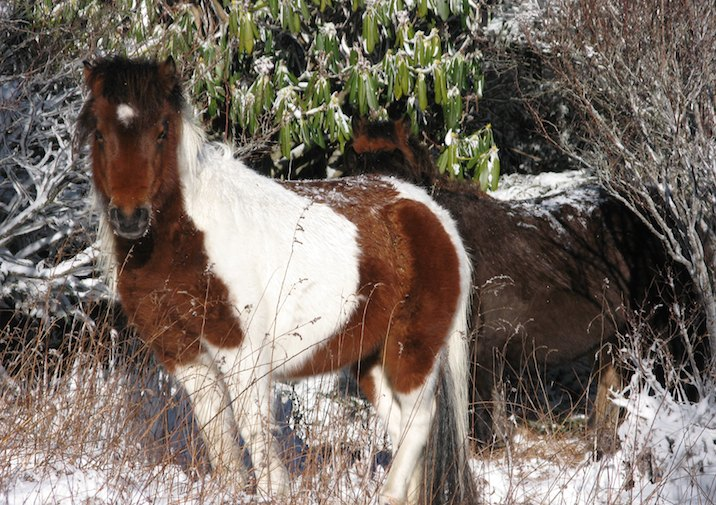 Wild Horse along the Wilburn Branch Trail on a winter hike in Grayson Highlands State Park