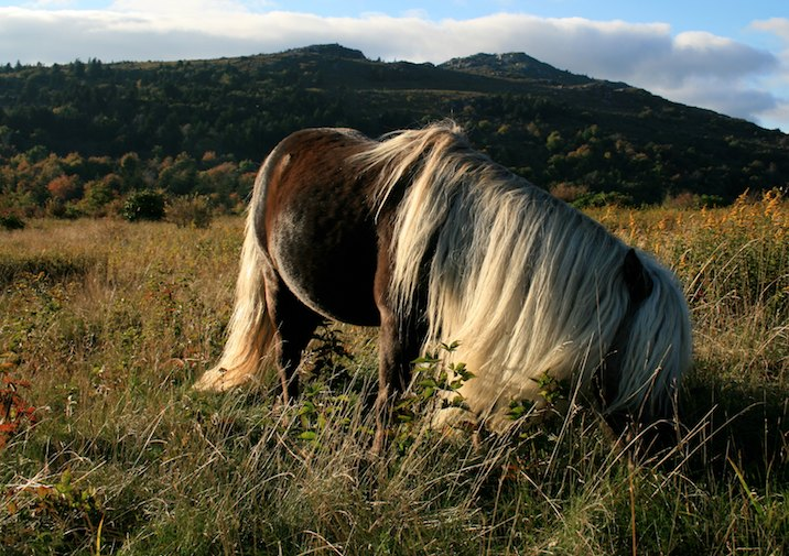 Stunning Wild Horse in Grayson Highlands State Park in Virginia.