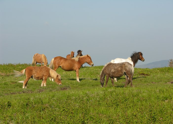 Wild Horse herd in Grayson Highlands State Park in Virginia.
