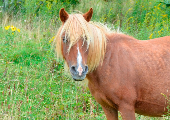 Beautiful Wild Horse in Grayson Highlands State Park.