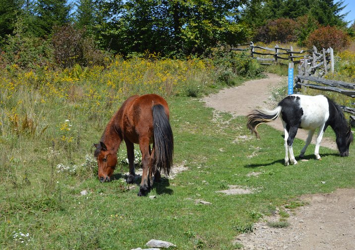 Wild Horses at the Rhododendron Trailhead in Grayson Highlands State Park in Virginia.