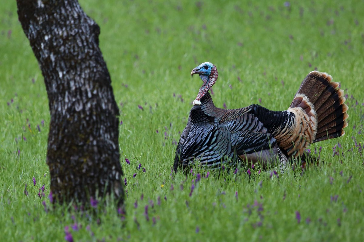 Watch for Wild Turkeys in Knob Noster State Park.