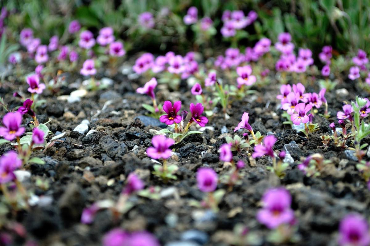 Wildflowers in Craters of the Moon National Monument.