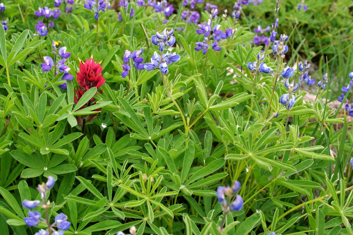 Indian Paintbrush and Lupine in Mount Rainier National Park.