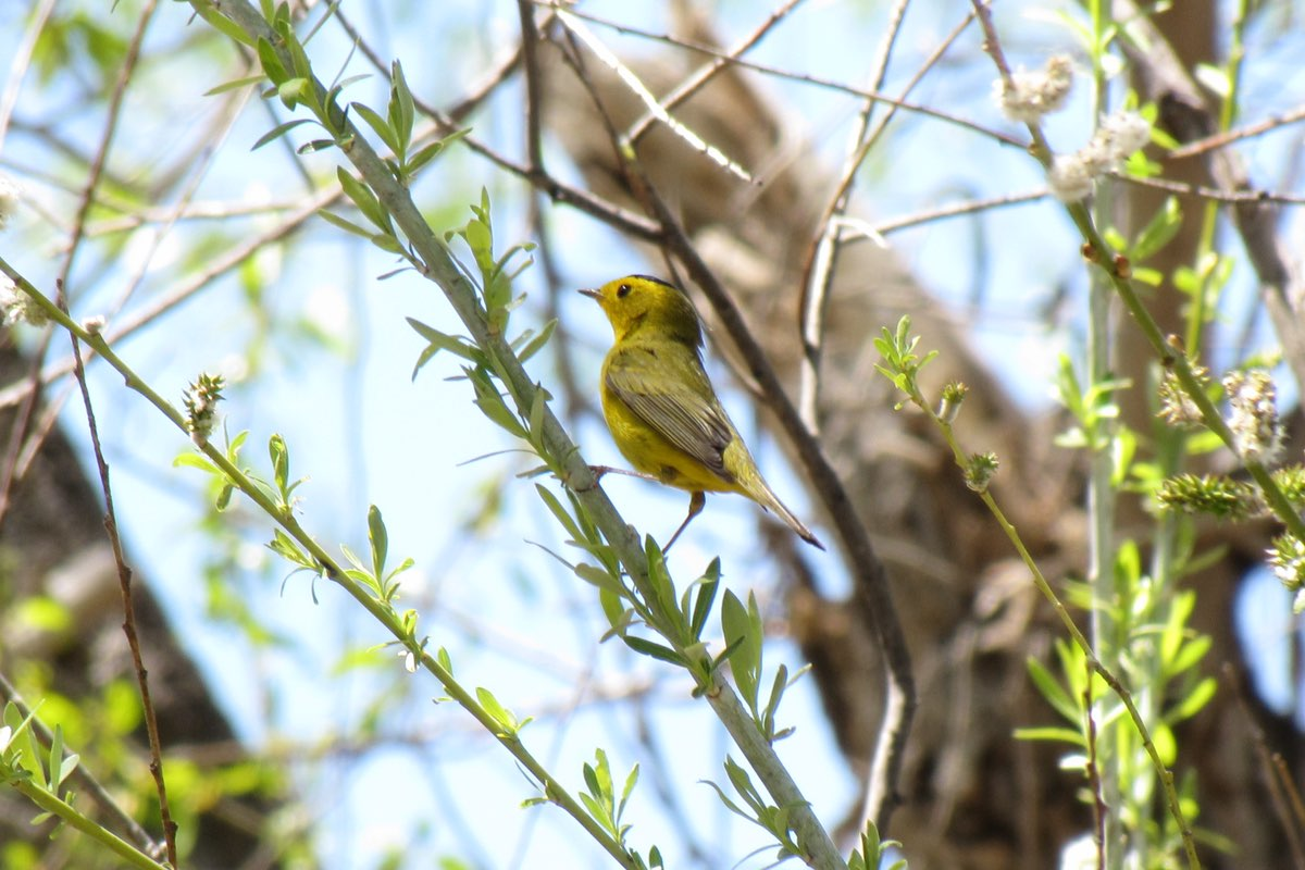Wilson's Warbler in White Sands National Monument.