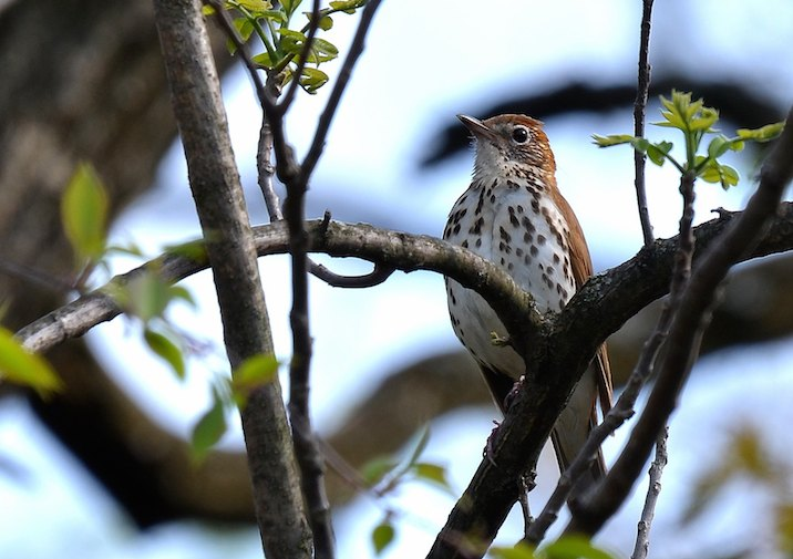 Watch out for Wood Thrush and other beautiful song birds along this trail.