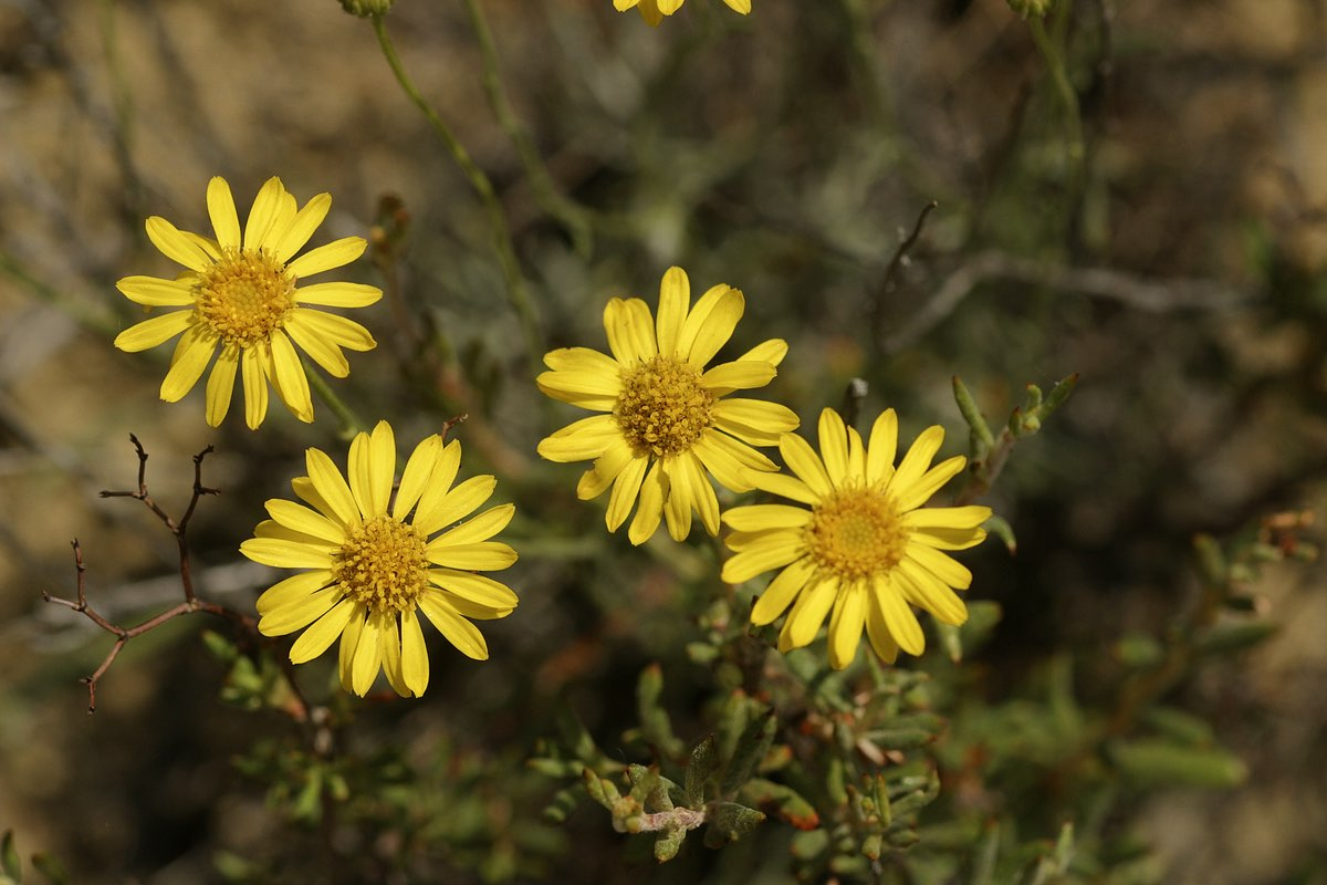 Woolly Daisy (Antheropeas wallacei) in John Day Fossil Beds National Monument.