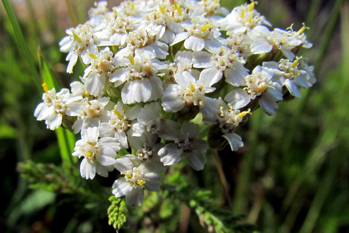 Beautiful white wildflower in Blackwater Falls State Park, West Virginia.