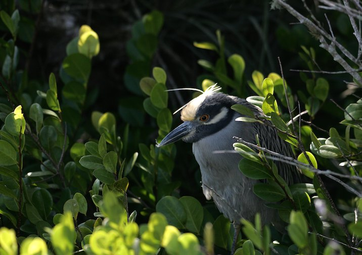 Yellow-crowned Night Heron (Nyctanassa violacea) in Everglades National Park.