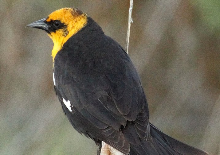 Yellow-headed Blackbirds are common in the Turnbull National Wildlife Refuge near Spokane, Washington.