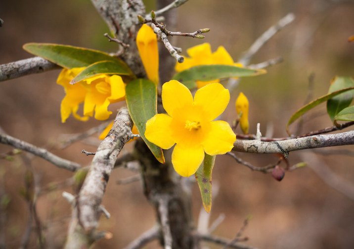 Yellow Jessamine (Gelsemium sempervirens) in Kisatchie National Forest.