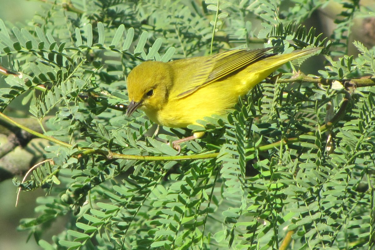 Yellow Warbler in White Sands National Monument.
