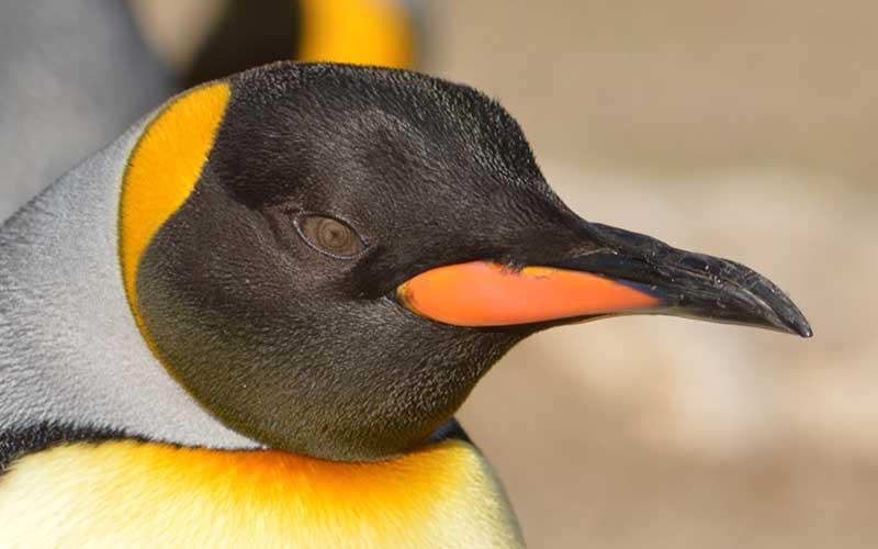 pingüino ojo amarillo