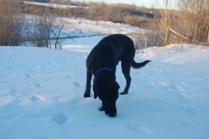 black-labrador-retriever-following-scent-in-snow