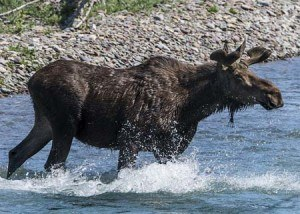 Moose | Pixabay