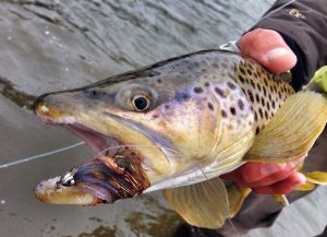 Brown Trout | Gallatin River Guides
