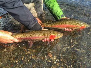 Rainbow Trout   Chase Navratil