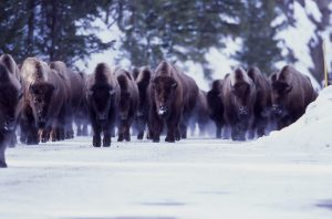 Bison | Yellowstone Vacations