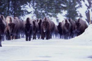 Bison Herd In Yellowstone | Photo: Yellowstone Vacations