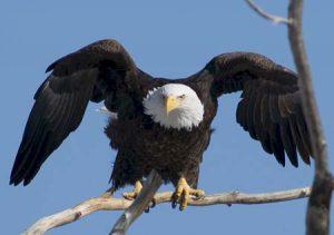 Bald Eagle | Pixabay