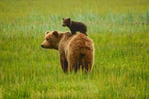 bear cub on mother's back | shutterstock