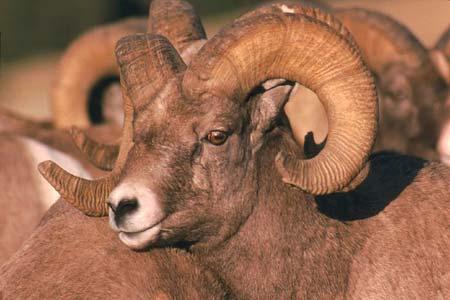 Bighorn Sheep | Pixabay