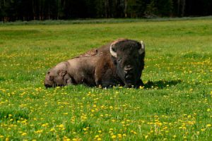 Bison Laying In Field | Shutterstock