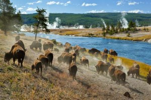 bison by firehole river | Shutterstock