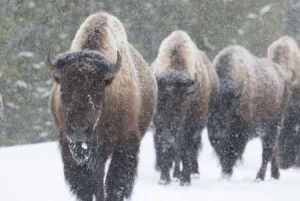 Bison on Road in Yellowstone | Shutterstock