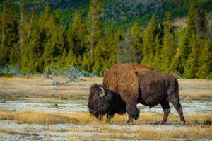 Bison | Shutterstock