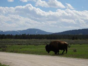 Bison in west yellowstone