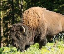 bison_1.jpg