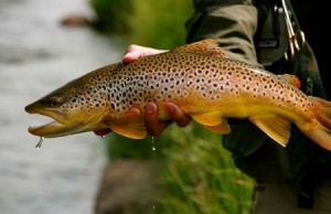 brown trout - dropbox file