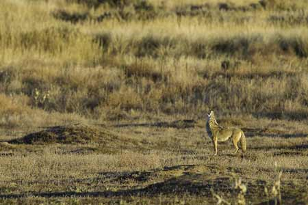 Coyote In Field | Pixabay Image