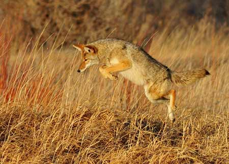 Coyote Leaping During Hunt | Pixabay Image