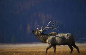 elk bugling | Pixabay