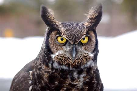 Great Horned Owl   Pixabay Image